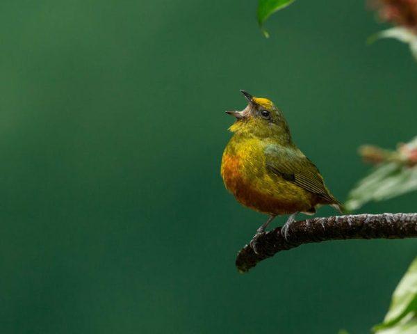 Curious Kids: Why do birds sing?
