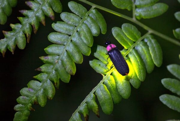 How fireflies glow – and what signals they're sending
