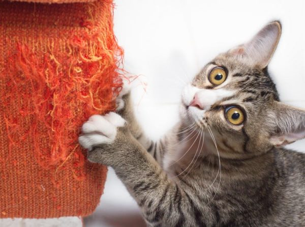 Curious Kids: How are cats declawed, and is it painful?